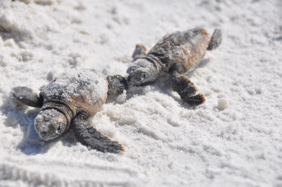 Sea+turtles+have+begun+hatching+along+Brevard+County%E2%80%99s+beaches.