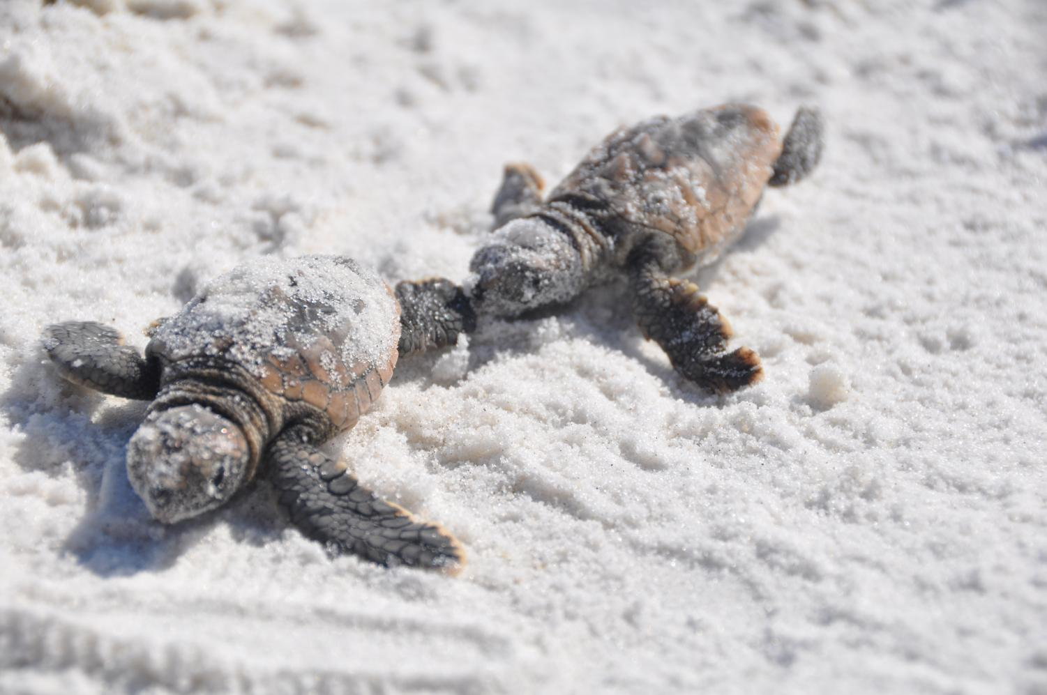 Sea turtles have begun hatching along Brevard County's beaches.