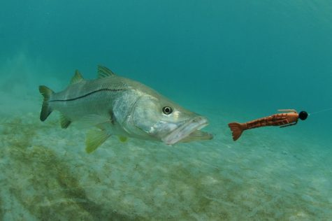 Snook in pursuit of a soft plastic lure mimicking a shrimp